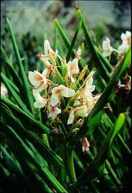 hedychium a hardy plant for the garden article by plant