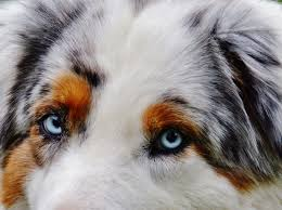 t r australian shepherds free images meadow play sweet animal cute pet fur blue