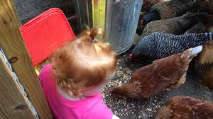 backyard chickens kid feeding scratch grains youtube