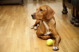 dog and hardwood floors how to hardwood floors 1 online hardwood floor guide