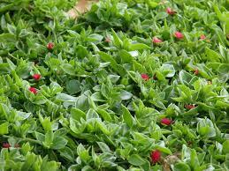 aptenia cordifolia ground cover easy drought tolerant ground