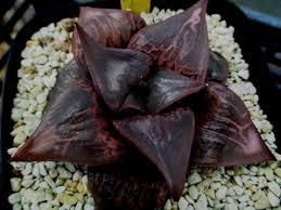 plats cuisin駸 多肉植物 ハオルチア 酒呑童子 親苗 haworthia cacti
