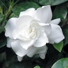 gardenia flower 50 gardenia cape jasminiodes white shrub