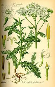 ephedra plant wikipedia 120 best botanische prints images on pinterest carving gardens