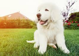 belgian sheepdog training guide dog breed guide belgian malinois