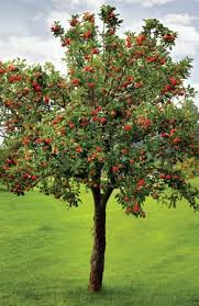 apple fruit and tree britannica