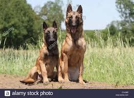 belgian sheepdog malinois dog belgian shepherd malinois and young sitting stock photo