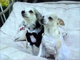 dog wedding dress dog wedding dresses receiver mail order