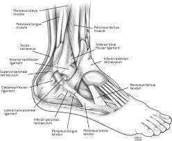 Anterior Distal Tibiofibular Ligament Peroneal Tendon Subluxation The Other Lateral Ankle Injury