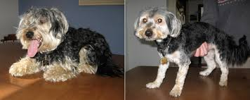 haircut for morkies and if tom brady was a dog he d be a morkie
