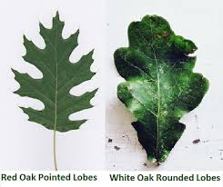 oak tree facts lesson for study com