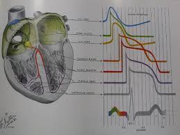 Anatomy Of Human Heart Pdf Physiology