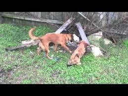 australian shepherd vs brittany australian shepherd dog hd video funnydog tv