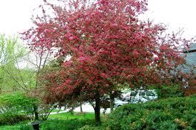 Profusion Flowering Crabapple - malus u0027profusion u0027 u2013 crabapple ph 0800 532 352