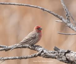 attracting house finches backyard birding feeding wild bird co