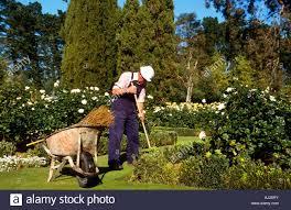 elderly man gardening on a day with wheelbarrow in a rose