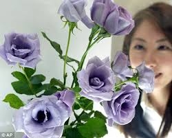 blue roses for sale blue bloom finally goes on sale in the u s daily mail online