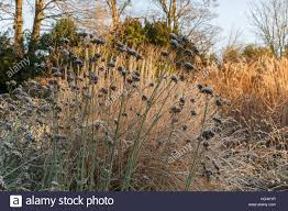 perennials and ornamental grasses in winter stock photo royalty