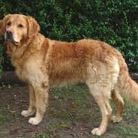 belgian sheepdog golden retriever mix dog breeds from a z including purebeed and hybrid dog breeds