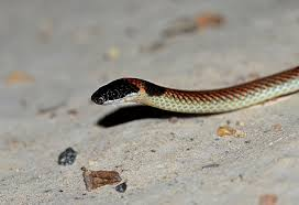 red naped snake