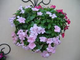 vinca flowers plants flowers vinca rosea