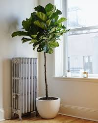 home plants tall indoor plant with white pot using mulch for indoor plants