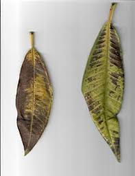Plant Diseases Wikipedia - wikipedia reference desk archives science 2017 september 20