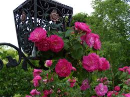 more about the climbing rose u2026 willow cottage