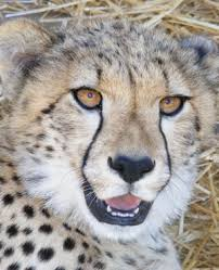 sle resume journalist position in kzn wildlife ezemvelo accommodation new zealand dad fights off cheetah to save son in kzn news24