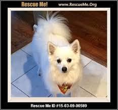 american eskimo dog rescue colorado american eskimo dog blog u2015 rescueme org