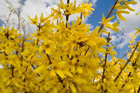 bush forsythia maluch yellow flowers in the early spring these