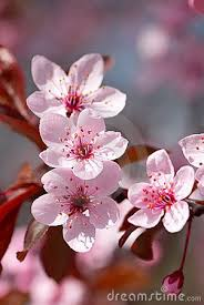 cherry blossom flowers 314 best images on flowering trees blossom trees