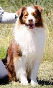 australian shepherd tan australian shepherd janedogs