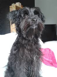affenpinscher cross breeds small mix breed female dog for sale droitwich worcestershire