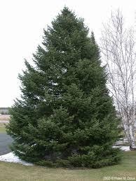 flat sided tree trees 2017