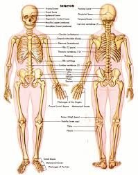 Anatomy And Physiology Introduction To The Human Body Human Body Skeleton Cheat Sheet By Davidpol Download Free From