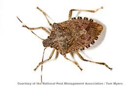 Bed Bugs Smell Stinkbugs Facts About Stinkbugs Types Of Stinkbugs