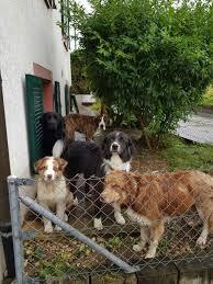 australian shepherd welpen 4 monate cisco nachzucht yellowstone australian shepherds
