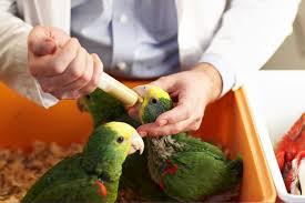 vital l full spectrum light for birds psittacine pediatrics housing and feeding of baby parrots hari