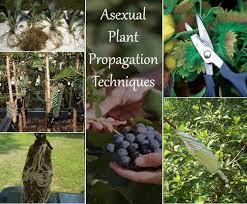 asexual vegetative plant propagation techniques
