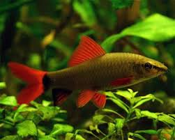 60 best freshwater fish species images on aquariums