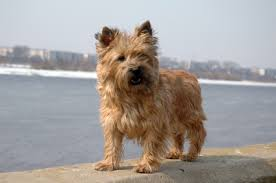 cairn terrier appearance grooming