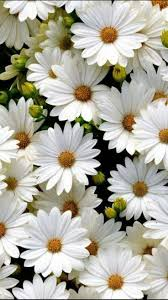 169 best african daisies for liza images on pinterest flowers
