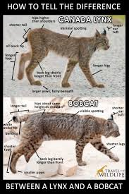 how to tell the difference between a bobcat and a canada lynx