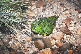 native plants in australia new australian night parrots discovery u2014 extinct birds found alive