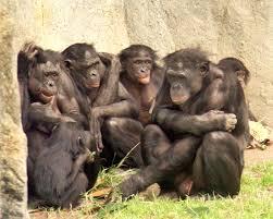 siege social bonobo war of the sexes 21 the s darkest hour