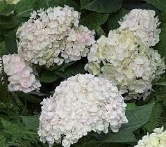 white hydrangea hydrangea macrophylla blushing white flower farm