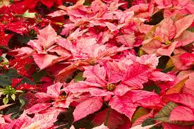 7 plants in christmas traditions learn the lore