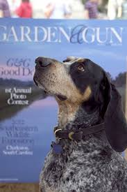bluetick coonhound apparel 74 best bluetick coonhounds images on pinterest bluetick