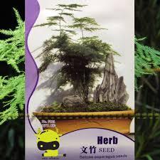 asparagus fern asparagus setaceus seeds 8 seeds 1 original pack